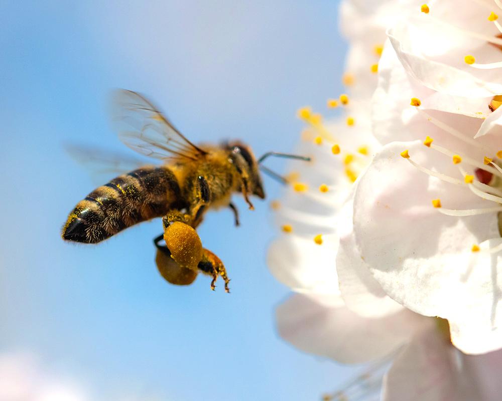 Upclose Honey Bee