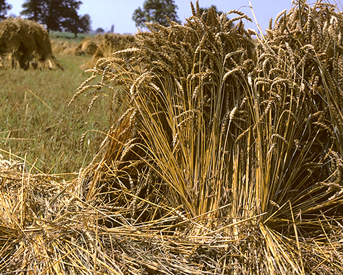 Bushels of Wheat
