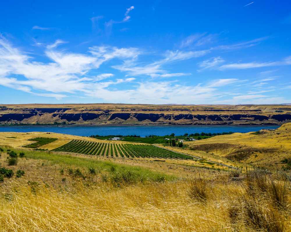 A beautiful vineyard right on the Columbia River in southern Washington state.