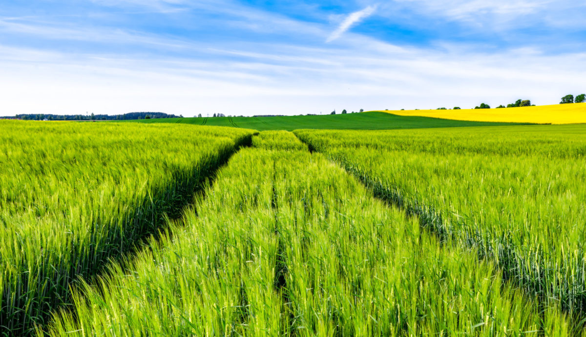 Green field of wheat growing in spring