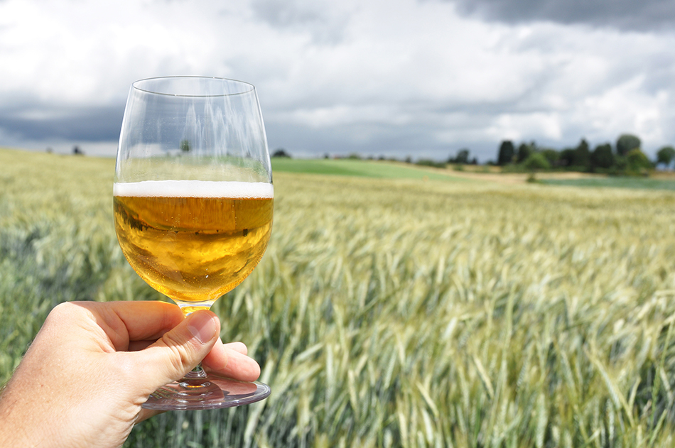Glass of beer in hand against barley ears
